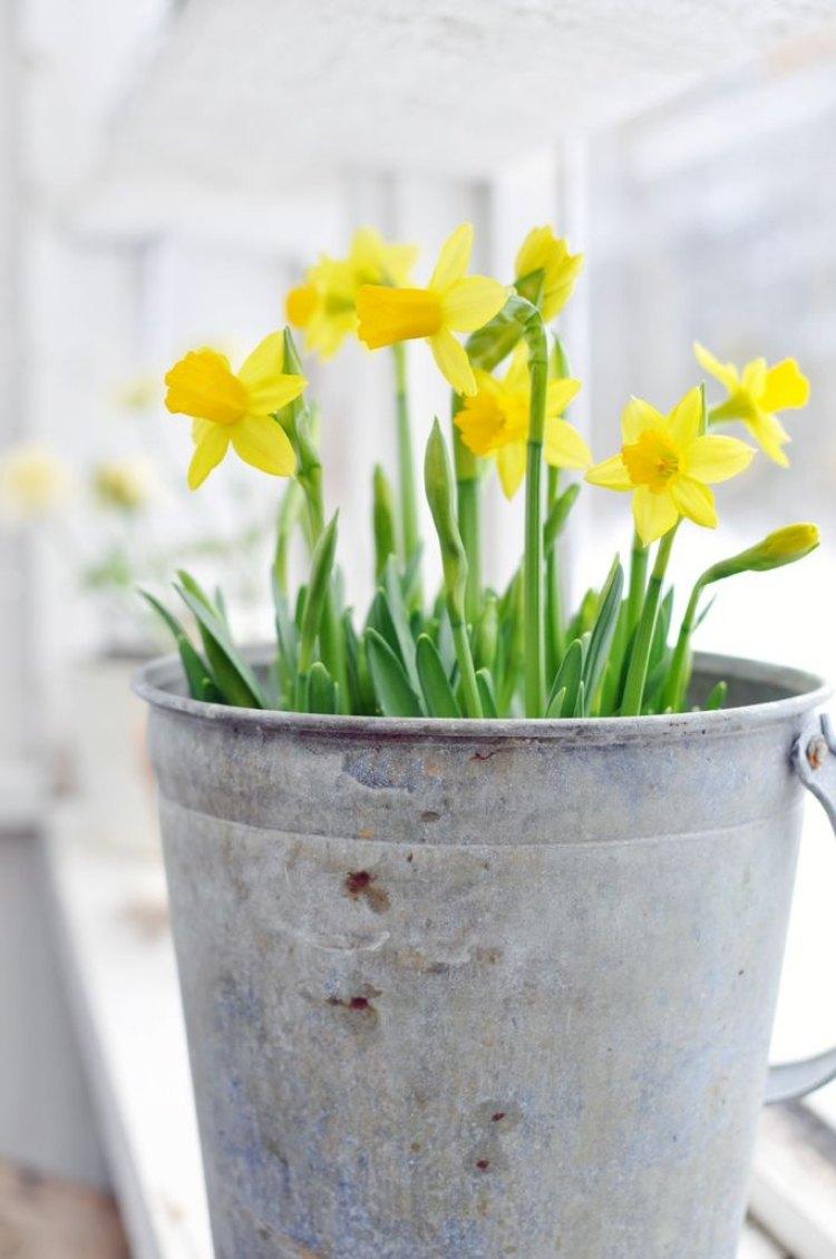 tendances-déco-fleurs-printanières-narcisses-jaunes-seau-métal.jpg